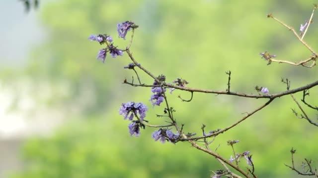 Jacaranda flowers on the tree video
