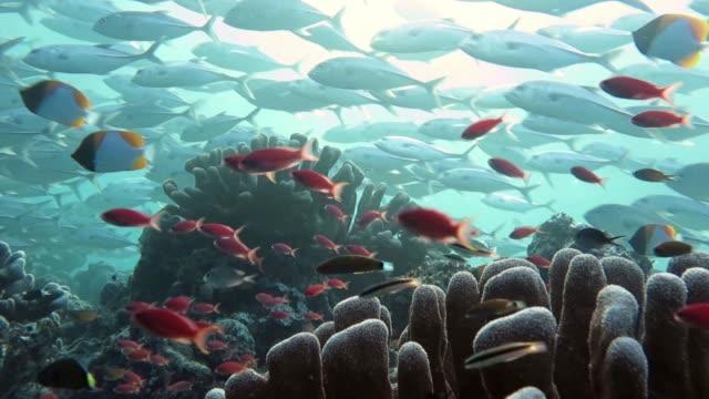 Jack Fish Shoal in Reef影片