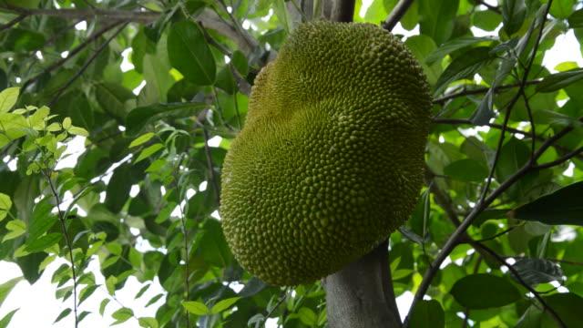jackfrucht wächst von zweig am baum hängen - nierenkelch stock-videos und b-roll-filmmaterial