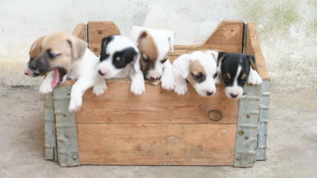 jack russel terrier puppy in basket - молодое животное стоковые видео и кадры b-roll
