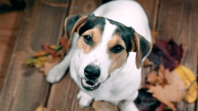 Jack Russell barking and looking at the camera Dog breed Jack Russell sits barking and looks into the camera terrier stock videos & royalty-free footage