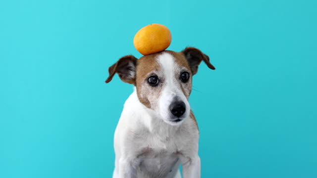 jack russell dog balancing a tangerine on the head - equilibrio video stock e b–roll