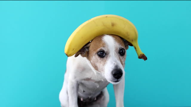 Video jack russell dog balancing banana on head and a fruit falls
