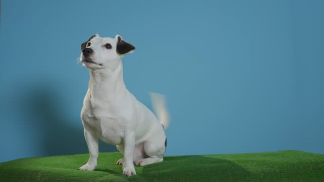 jack russell terrier dog on turquoise background jack russell terrier dog on turquoise background jack russell terrier stock videos & royalty-free footage