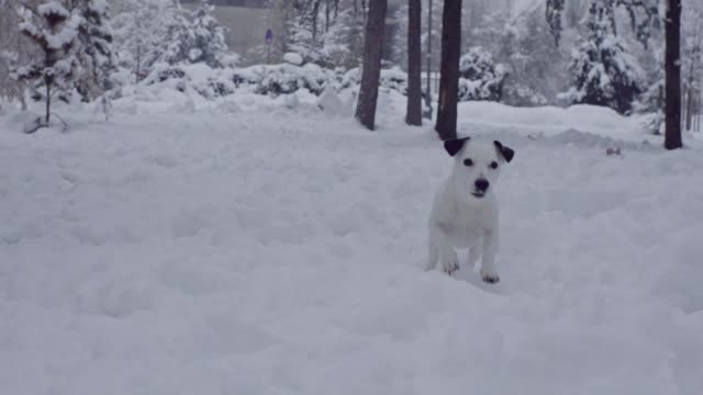 jack russell terrier dog playing in snow puppy happy cheerful jack russell terrier dog playing in snow puppy happy cheerful jack russell terrier stock videos & royalty-free footage