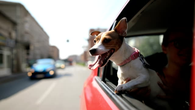Jack russell terrier in a traffic jam