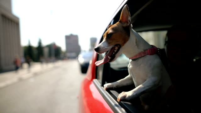 Jack russell terrier in a traffic jam Jack russell terrier in a traffic jam bay window stock videos & royalty-free footage