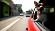 istock Jack russell terrier in a traffic jam 994175978