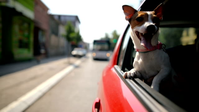 jack russell terrier in a traffic jam - cagnolino video stock e b–roll