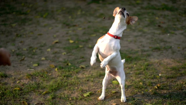 slomo ha jack russell terrier jump and fail on catch treat mid-air - errore video stock e b–roll
