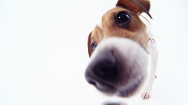 Jack Russell Terrier looking at the Fisheye camera Jack Russell Terrier looking at the Fisheye camera jack russell terrier stock videos & royalty-free footage