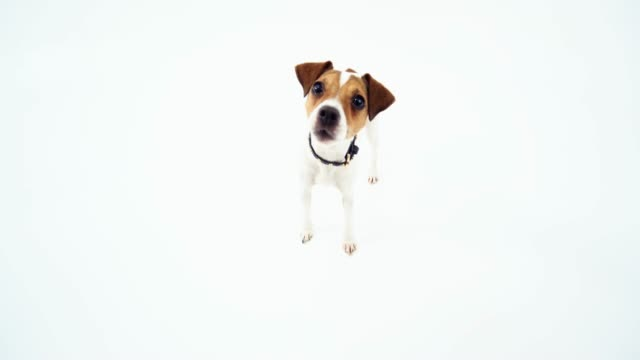 jack russell terrier looking at the fisheye camera - terrier video stock e b–roll