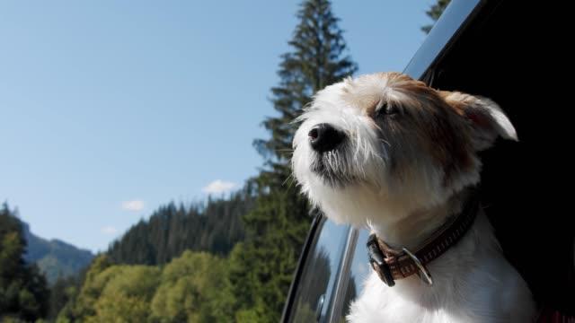 vídeos de stock, filmes e b-roll de jack russell terrier olha pela janela aberta do carro. feche em câmera lenta v3 - cão