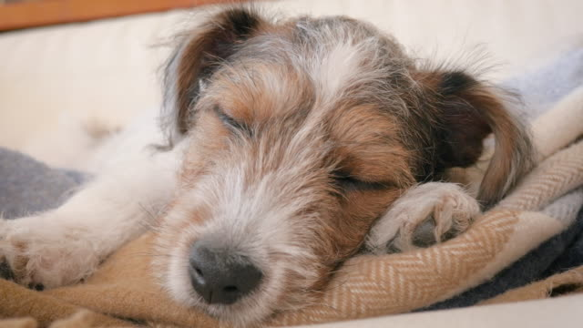Jack Russell Terrier Puppy Naps on a Flannel Blanket video