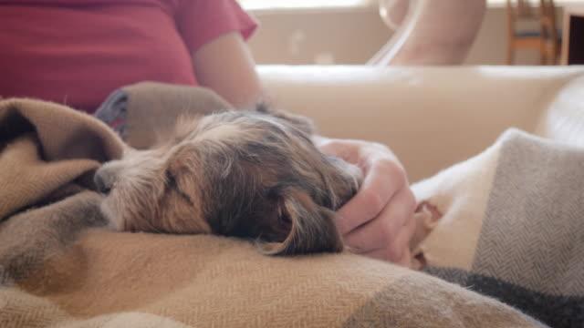 jack russell terrier puppy naps on a woman's lap - уютный стоковые видео и кадры b-roll