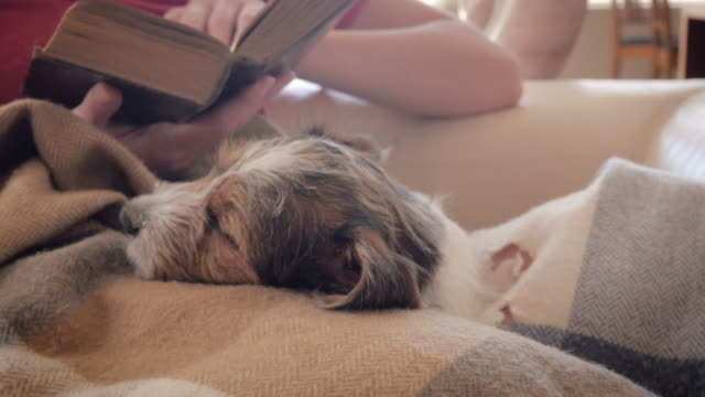 Jack Russell Terrier Puppy Naps on a Woman's lap While She Reads a Book video