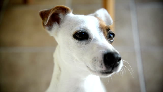 Jack Russell Terrier Cute little dog looks through the window. jack russell terrier stock videos & royalty-free footage