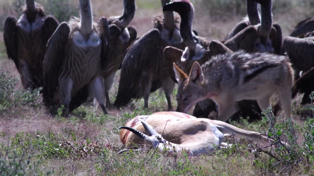 Jackals and Vultures A Jackal defends his prey animal (Springbok) against Vultures, Etosha National Park, Namibia vulture stock videos & royalty-free footage
