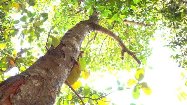 jackfruit tree, nature scene video