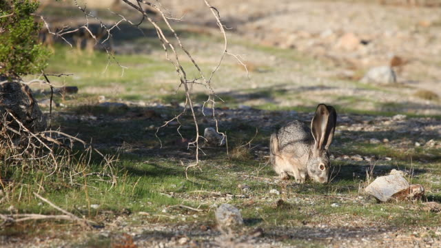 Jackrabbit munching grass and scratches face with back foot