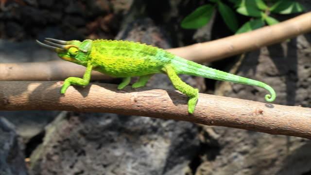 jackson's chameleon na hawajach hd - część ciała zwierzęcia filmów i materiałów b-roll