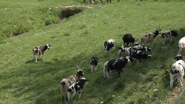 Jacob sheep grazing video