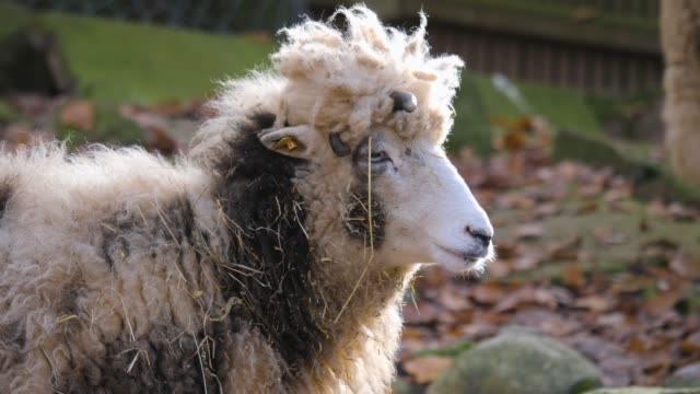 Jacob sheep with funny hair style video
