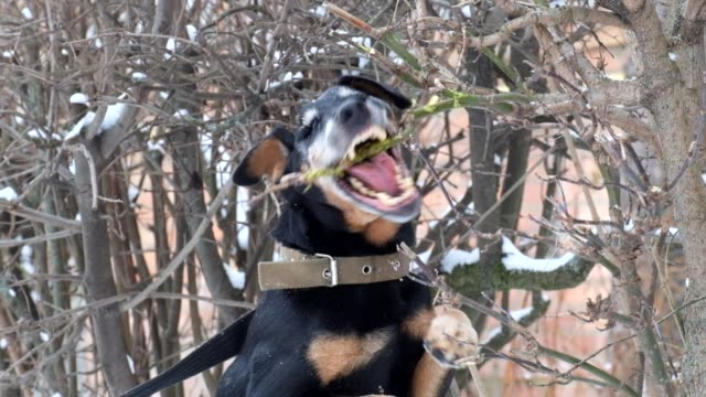 Jagdterrier fighting with a bush. German Hunting Terrier is tearing a bush Jagdterrier fighting with a bush. German Hunting Terrier is tearing a bush hound stock videos & royalty-free footage