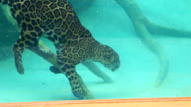 jaguar dive to feed - leopard bildbanksvideor och videomaterial från bakom kulisserna
