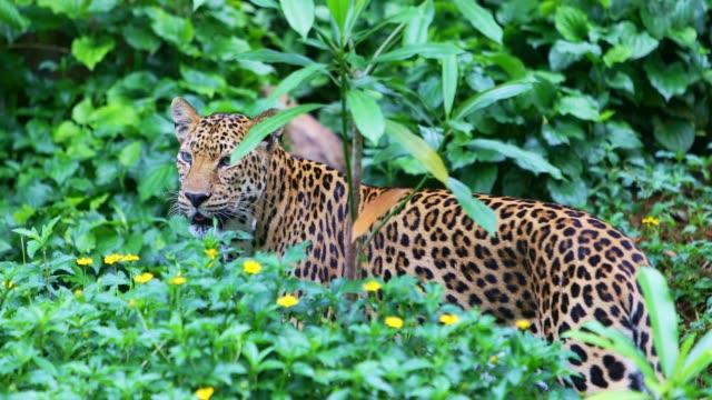 jaguar i grönt - leopard bildbanksvideor och videomaterial från bakom kulisserna