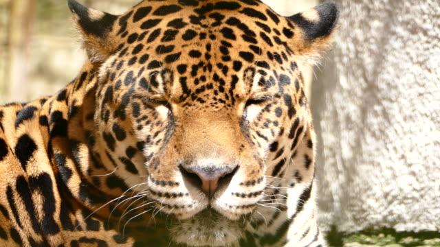 4К Jaguar lying down and dreaming video