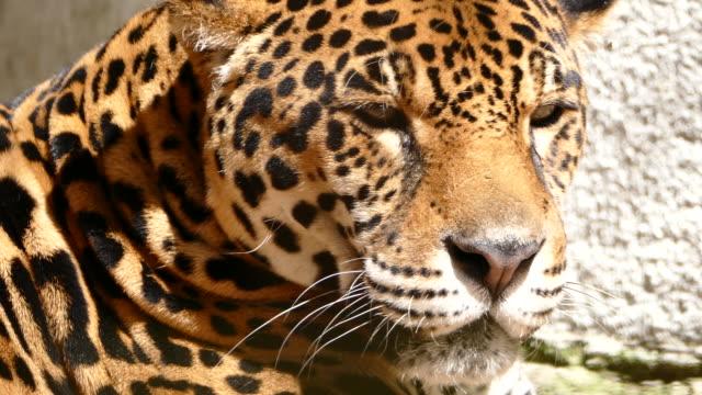 4К Jaguar lying down and resting video