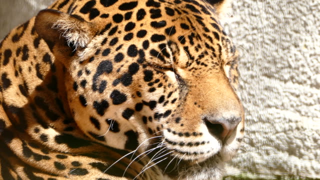 4К Jaguar resting and dreaming in sunny day video