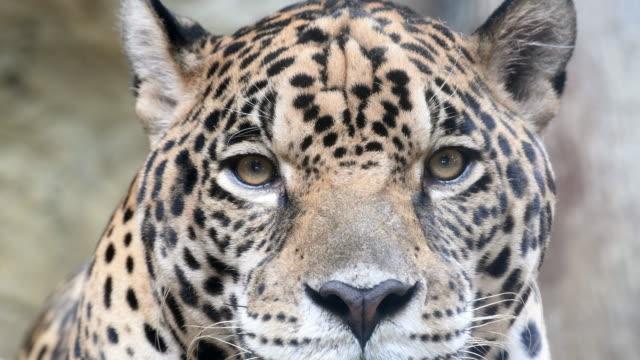 jaguar - leopard bildbanksvideor och videomaterial från bakom kulisserna