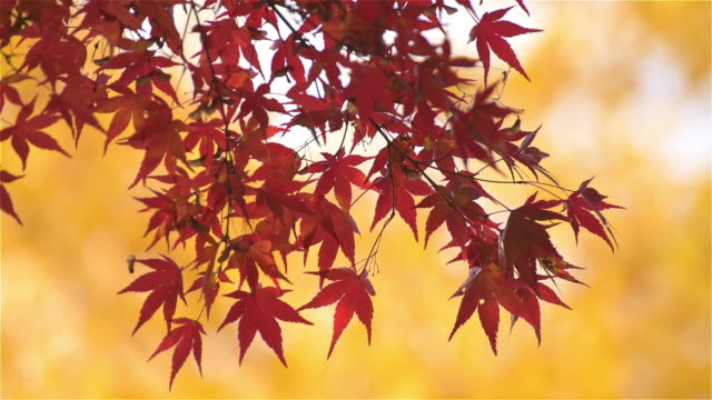 japan maple leaf in autumn season - ноябрь стоковые видео и кадры b-roll