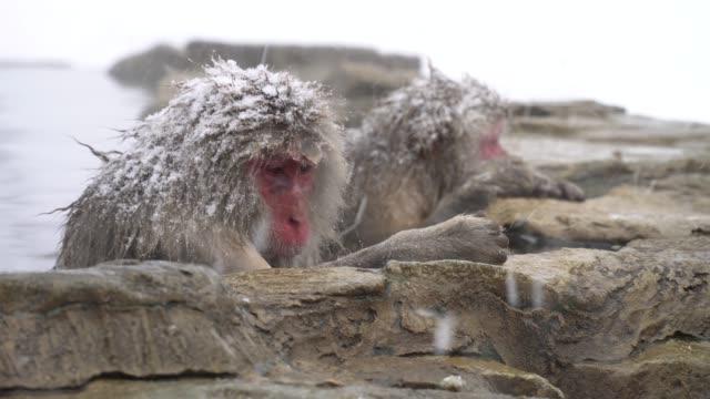 Japan-Affen Aufwärmen in der heißen Quelle – Video