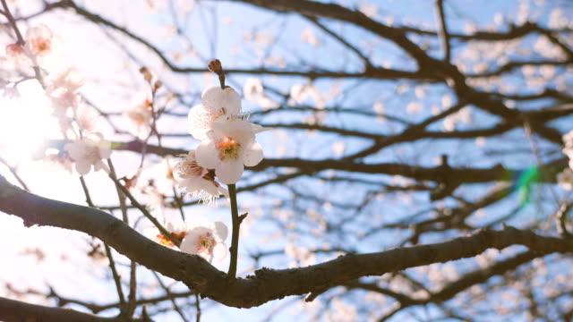 japanease white plum, 4k - vier jahreszeiten stock-videos und b-roll-filmmaterial
