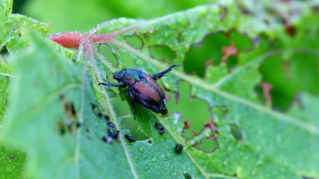 japanische käfer, popillia japonica, auf einem blatt - käfer stock-videos und b-roll-filmmaterial