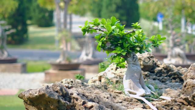 Japanese bonsai in garden. Dolly shot 4k Resolution.