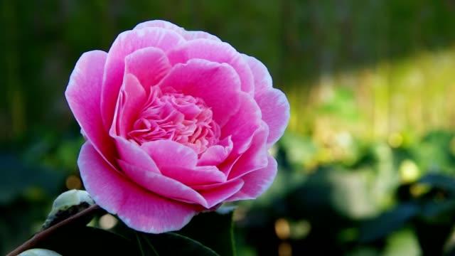stockvideo's en b-roll-footage met japanese camellia - camelia white