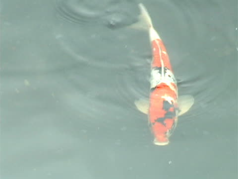 Japanese Carp In A Garden Pond Video