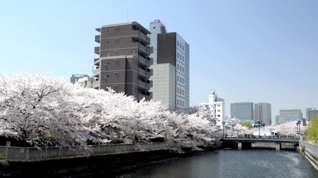 fiore di ciliegio giapponese - colore ciliegia video stock e b–roll