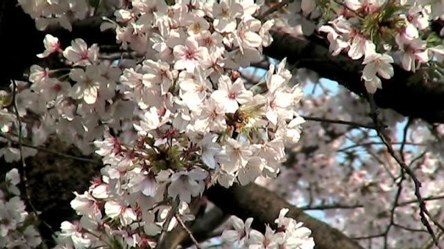 일본 벚꽃 비디오 합성사진 (애너모픽 - 클립 길이 스톡 비디오 및 b-롤 화면