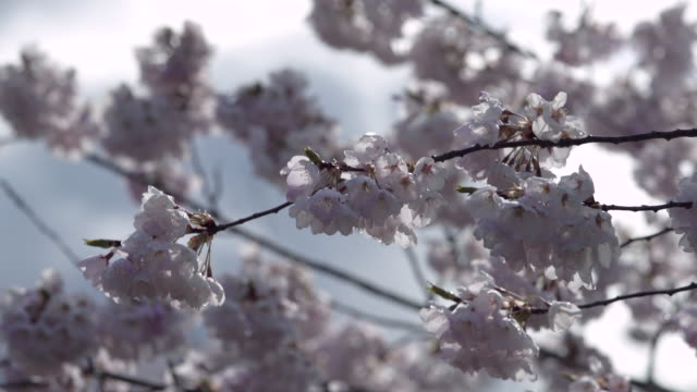 Japanese Cherry Blossoms close-up 4K UHD video