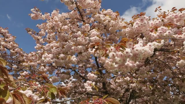 Japanese Cherry Blossoms dolly move video