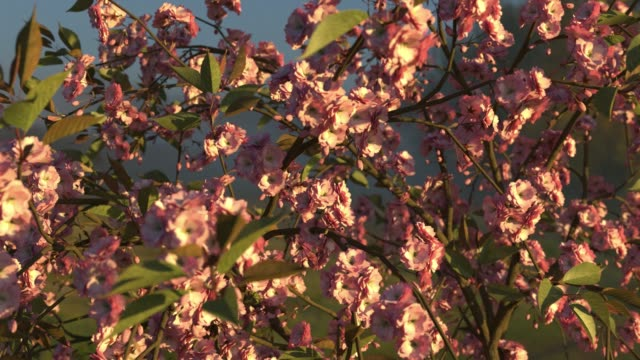 Japanese cherry in the wind. Loop. 3D animation. Sunset. Japanese cherry in the wind. Loop. 3D animation. Sunset. seamless pattern stock videos & royalty-free footage