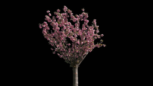 Japanese Cherry Isolated Tree