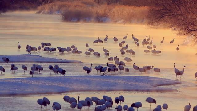 日の出タンチョウ - 冬点の映像素材/bロール