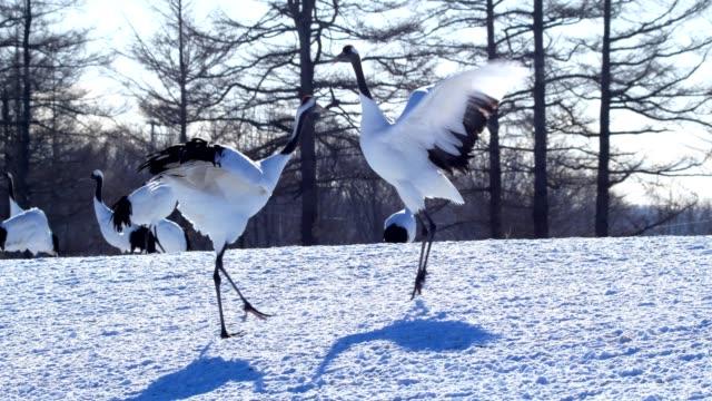 japanese cranes, hokkaido, japan - ultra high definition television filmów i materiałów b-roll