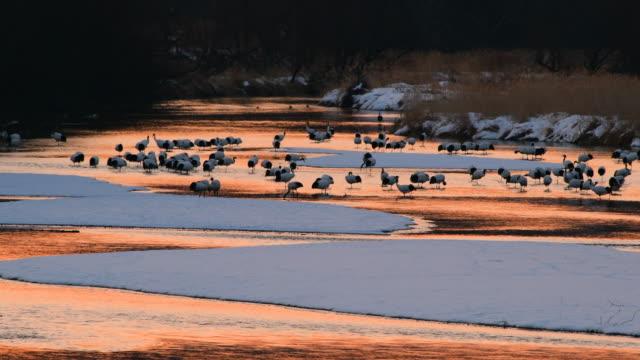 japanska kranar - akan nationalpark bildbanksvideor och videomaterial från bakom kulisserna